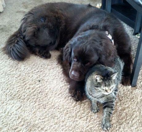 Gigadog snuggles Macrocat