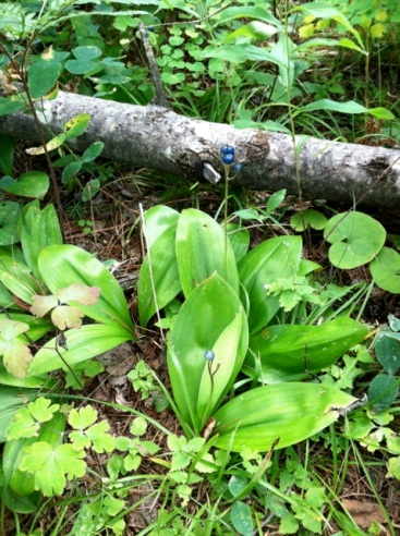 This is Clintonia or Blue-Bead lily.  Pretty...but don't eat it.